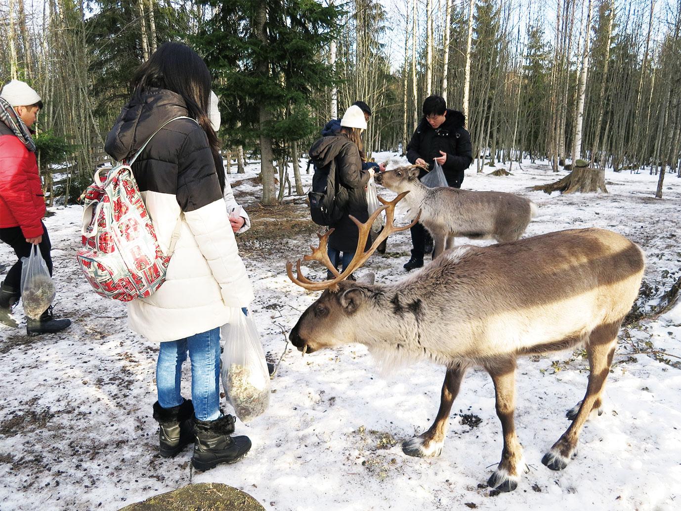 トナカイとお散歩(フィンランド)